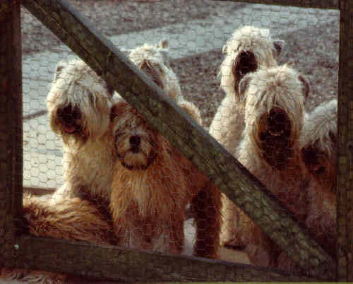 Wheatens at the gate